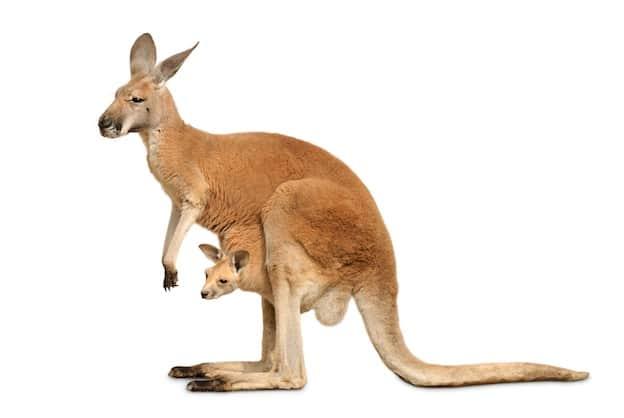 anatomy of kangaroos