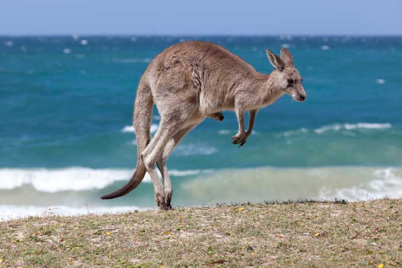 How High Can Kangaroos Jump?