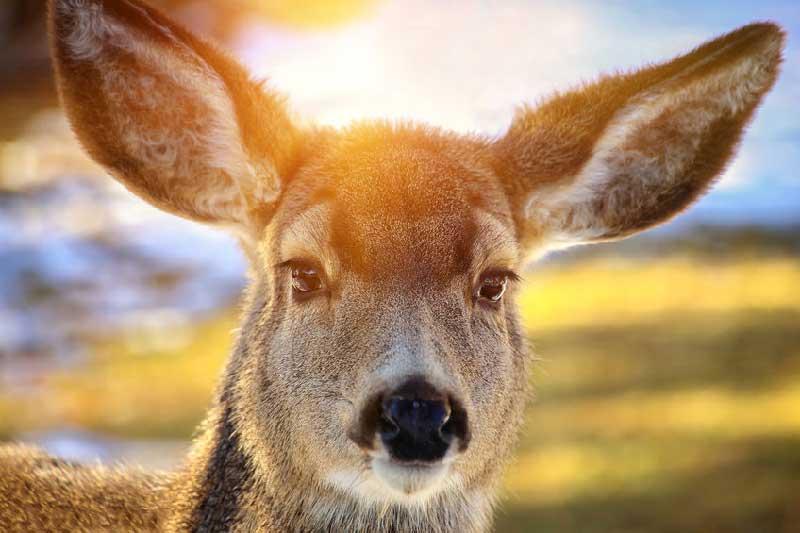 Is Kangaroo Eaten in Australia?