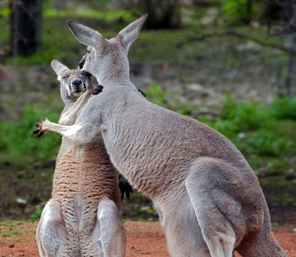 Adult And Young Kangaroo In Embrace
