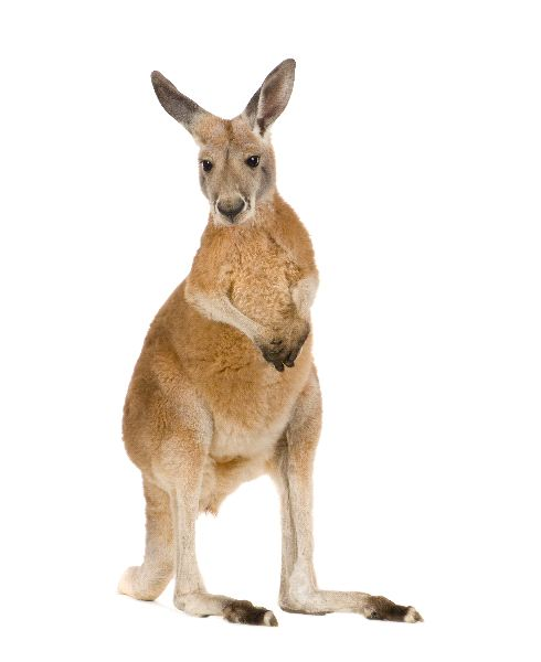 Beautiful Young Red Kangaroo
