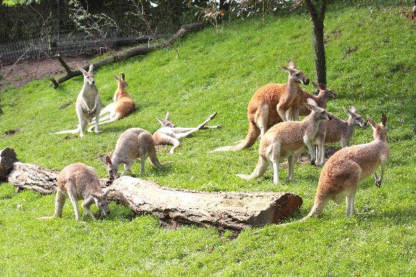 Kangaroo Herd In A Zoo