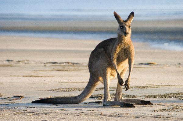 Kangaroo In Australian Coast