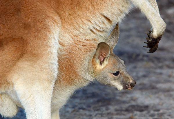 Kangaroo Joey Peering