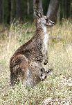 Kangaroo Mother And Joey Peering