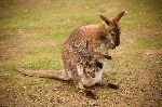 Kangaroo Mother Balancing With Her Tail