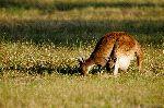 Kangaroo Mother Eating While Joey Watching The Camera