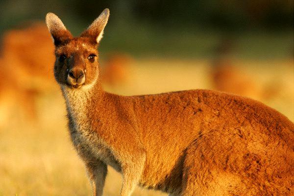 Large Western Gray Kangaroo