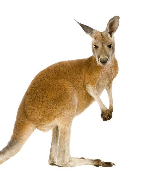 Red Kangaroo Macropus Rufus