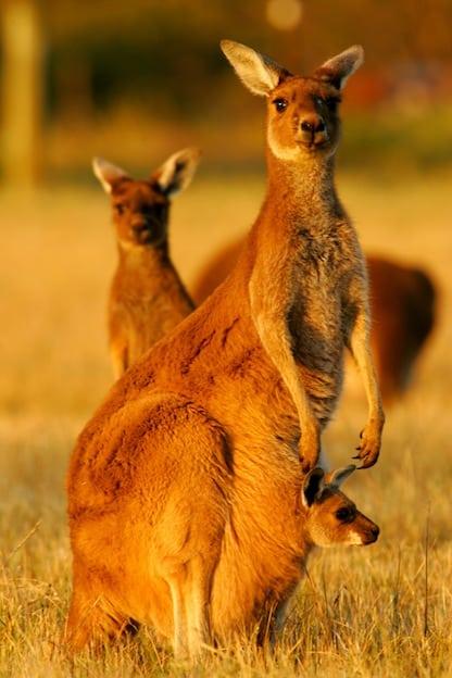 Western Grey Kangaroo - Macropus fuliginosus