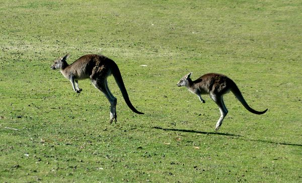 Two Kangaroos Jumping
