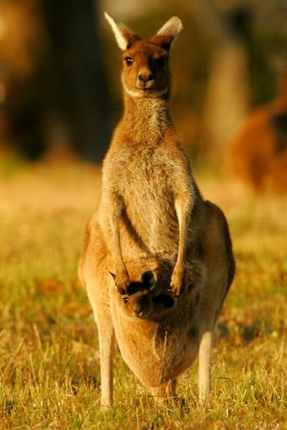 Kangaroo Reproduction Facts
