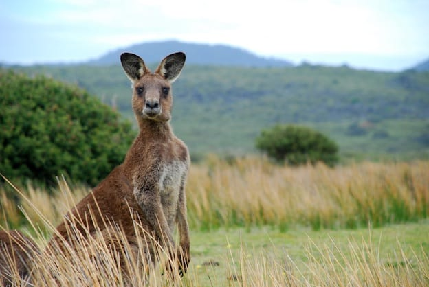 Eastern Grey Kangaroo facts