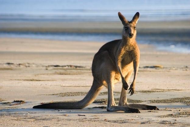 Distribución Y Hábitat De Los Canguros Kangaroo Facts