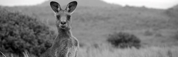 kangaroo poaching