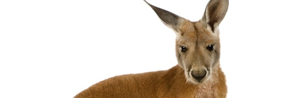 facts about kangaroos_picture