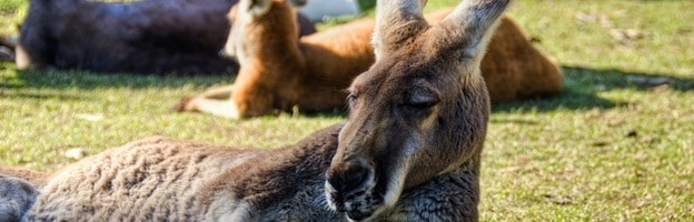 kangaroo social behavior_picture